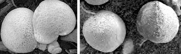 сравнение марсианских грибов